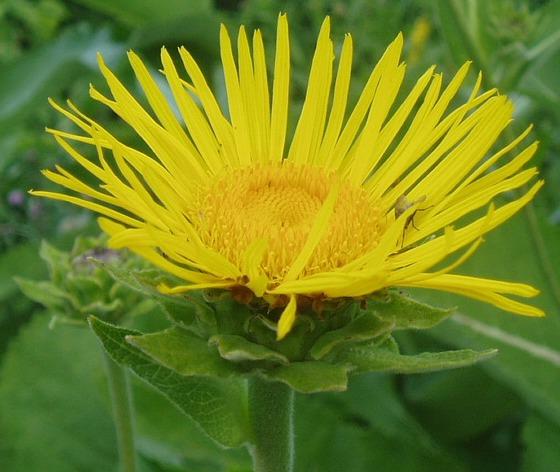 цветок девясил фото